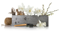 Spring flowers in wooden box with garden tools and branch blooming tree plum. Bunch lent lily in basket. Isolated on white background.