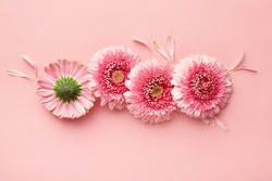 Spring flowers isolated on a pink background. Gerbera daisy flower petals viewed directly from above. Top view