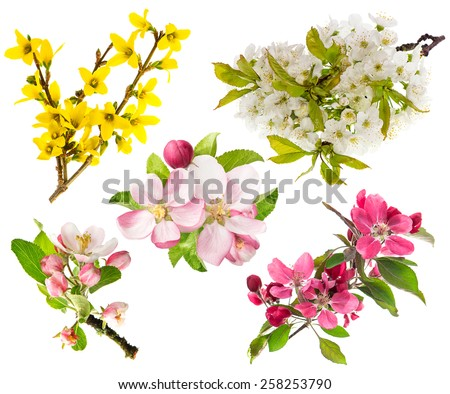 Spring flowers isolated on white background. Blossoms of apple tree, cherry twig, forsythia.