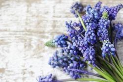 spring flowers Muscari background. copy space.  Blue muscari flowers (Grape hyacinth)
