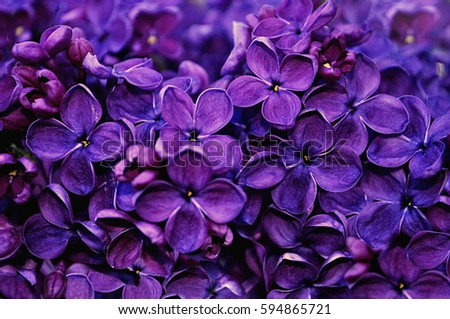 Spring flowers of lilac in the garden, spring background #594865721