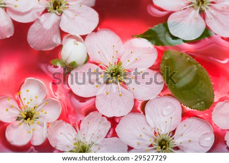 spring flowers of sakura in water