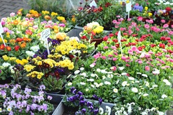 spring flowers on the flower market daisies pansies, primula