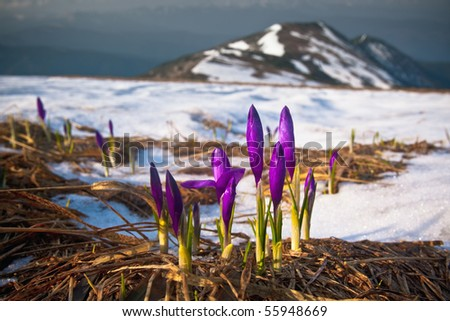spring flowers on the snowy slopes of alpine