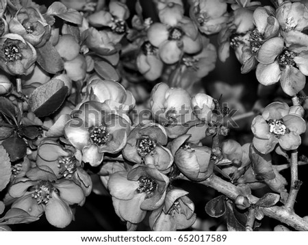 Spring flowers on trees in black and white ez canvas spring flowers on trees in black and white mightylinksfo
