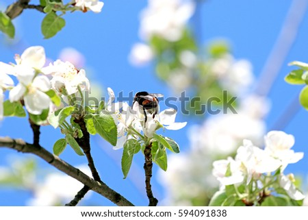 Free bee on a flower collects honey apple tree pollinate apple spring flowers pollinate slogger bees collect honey 594091838 mightylinksfo