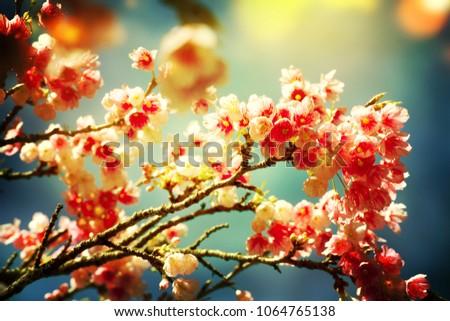 Spring flowers. Sakura