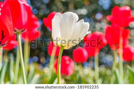Spring flowers series, single white tulip among red tulips in field