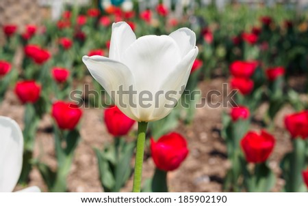 Spring flowers series, single white tulip with charming transparent petals among red tulips in field
