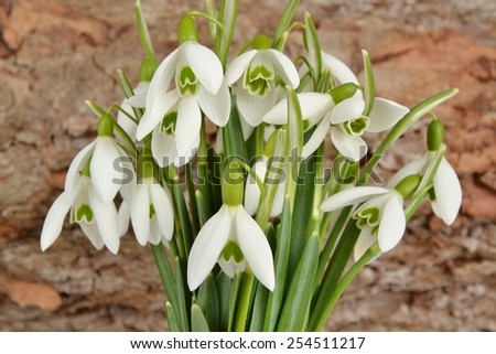 Spring flowers snowdrops #254511217