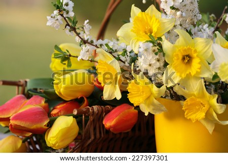 Spring flowers: tulips, narcissus and blooming cherry tree branches