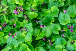 Spring flowers. Violet violets flowers bloom in the spring forest. Viola odorata.