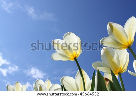 Spring flowers - white tulips on the background of sky. Sweetheart variety