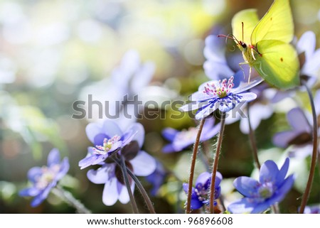 Spring flowers with butterfly ( Anemone Hepatica with Brimstone )