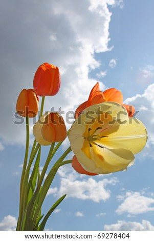 Spring flowers - yellow and orange tulips on the background of sky