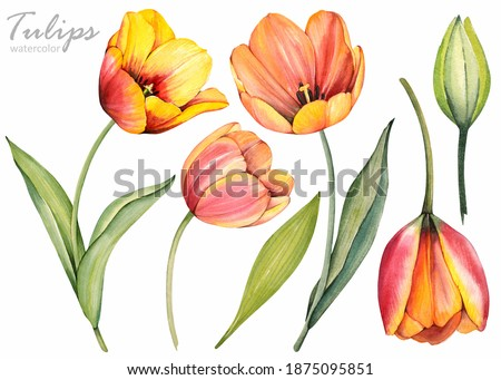 Spring flowers. Yellow tulips on white background. Floral set. Watercolor illustration. Stock photo ©
