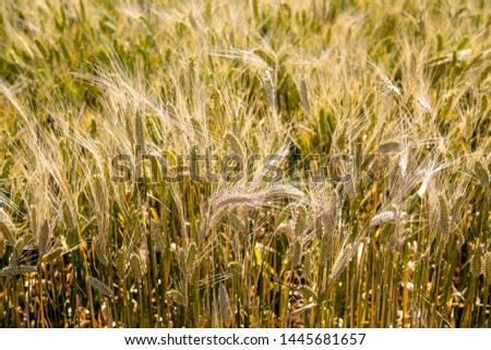 spring Forage barley background grain barley #1445681657