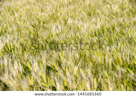 spring Forage barley background grain barley #1445681660