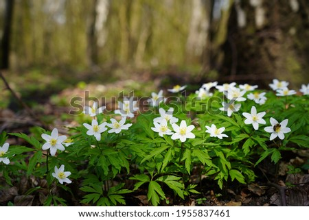 Spring forest and beautiful , white anemones. Anemone nemorosa Stockfoto ©