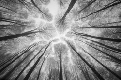 Spring forest floating in the sky in a rainy day at the mountain Semiglavay in the South Russia. Top of the trees, high trunks, crowns. Black and white photo art work.