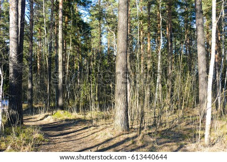 Spring forest, snow, sun,