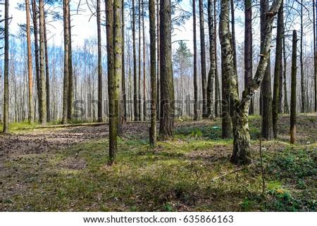 Spring forest trees landscape. Spring forest background #635866163