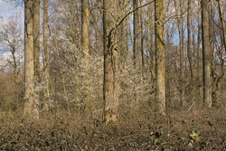 Spring forest with bush with white blossoms in the flemish countryside