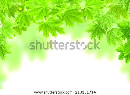 Spring frame with leaves of a maple. Isolated over white