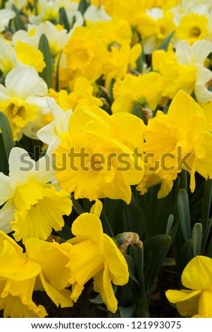 spring fresh yellow doffodil  flowers in  garden, Holland