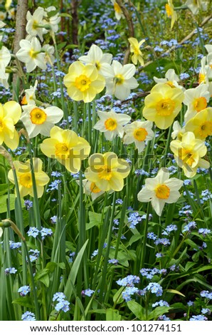 Spring garden filled with pretty daffodils