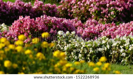 spring garden of pink and white and some yellow flowers. spring 2020. spring background. spring flowers landscape. spreingtime. #1522268936