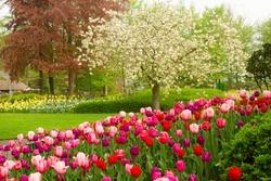 spring garden with blooming tree abd tulips,  Keukenhof, Holland