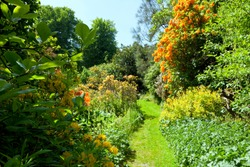 Spring garden with grass path between orange and yellow flowering  rhododendrons , in an English countryside on a sunny day .