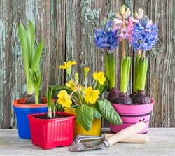 Spring gardening concept. Blooming hyacints and primula in flowerpots, gardening tools on old wooden background