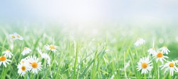 Spring gentle nature background .Daisies on the field on a sunny day.