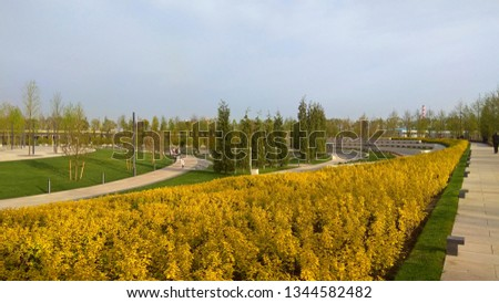 Spring golden shrubs in a park. Ninebark shrub bright yellow foliage in April. Rows of Dart's Gold shrubs between paved pathways. Trimmed bushes with broad three-lobed golden spring foliage.  #1344582482