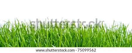 spring grass isolated on white