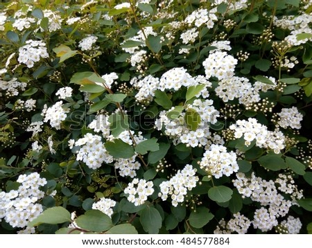 Free photos spring green bush studded with small white flowers spring green bush studded with small white flowers 484577884 mightylinksfo