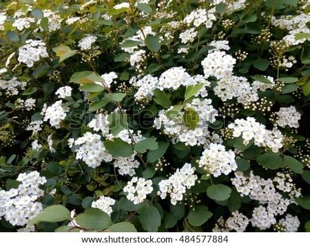 Free photos spring green bush studded with small white flowers spring green bush studded with small white flowers 484577884 mightylinksfo