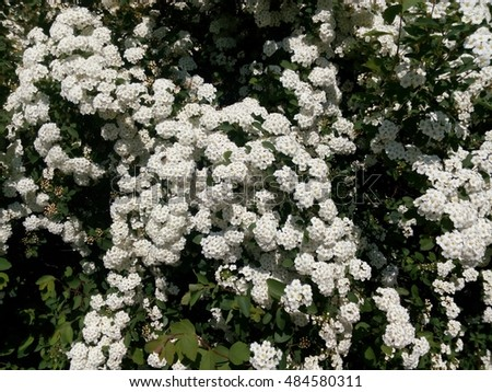 Free photos spring green bush studded with small white flowers spring green bush studded with small white flowers 484580311 mightylinksfo Images