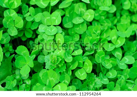 Spring green clover (shamrock) leaves to St. Patrick Day