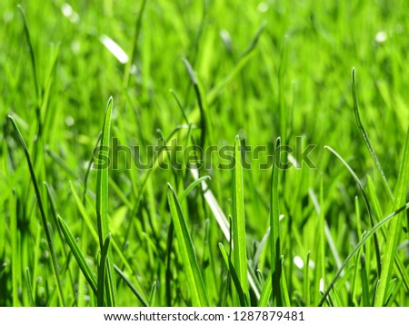 Spring green grass glittering in sunlight, selective focus. Bright nature background, fresh nature