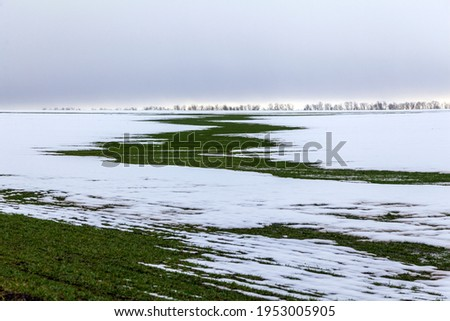 Spring, green grass through the snow on the field. A snow-covered landscape and a path with green grass breaking through from under the snow. First snow in winter or thaw in early spring.