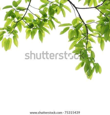 spring green leaf background
