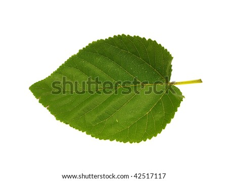 Spring green leaf of a tree isolated on a white background
