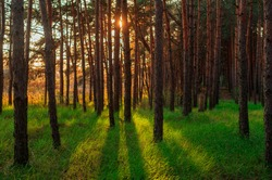 Spring green pine forest at sunset time. Panorama of green forest landscape in spring time and green moss, sunlight shining through the woods.