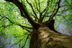Spring Growth on a Beech Tree  in an English Woodland