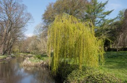 Spring Growth on a Weeping Willow Tree (Salix babylonica) by a River in a Park in Cardiff, Wales, UK