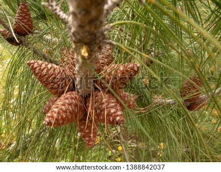spring has come, pine cones are growing again. Fruits in pine trees. Urla, Izmir, Turkey #1388842037