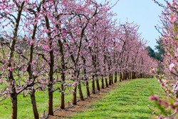 Spring has sprung in Perth, Cherry Blossom Trees in Perth, Orchard in full bloom, Spring cherry blossoms, Pretty pink cherry blossom is starting to bloom